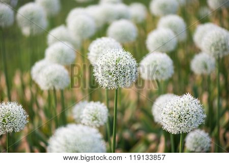 meadow with flowers of white Allium