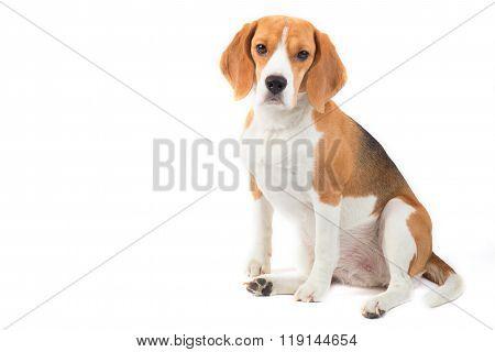 Isolated Beagle Dog Portrait