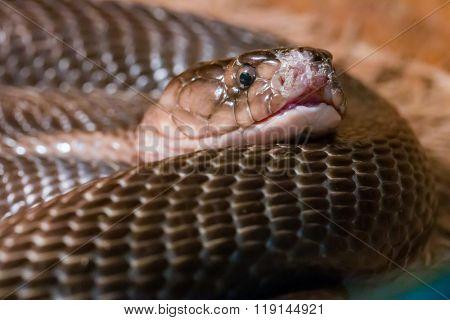 Dangerous snake in terrarium