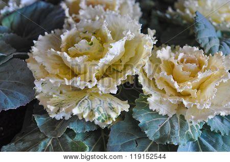 Cabbage Vegetables
