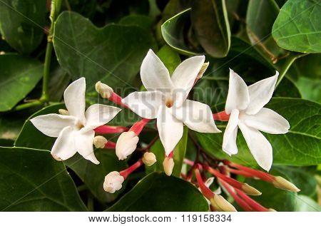 white karonda flower in garden