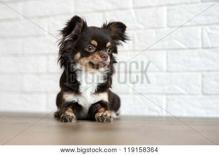 chihuahua dog posing indoors