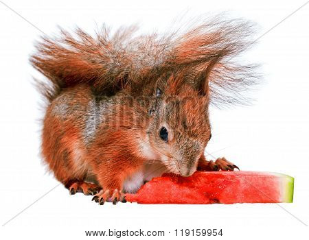 Squirrel eating watermelon isolated on white background
