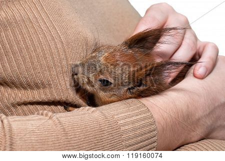 Red squirrel lying on hand