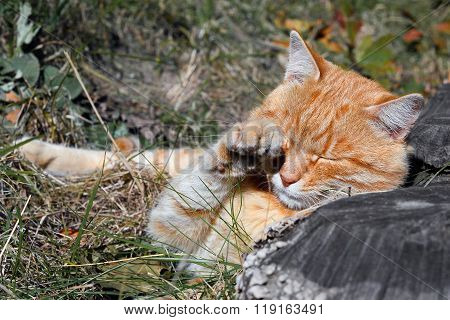 Funny stray ginger red cat licking his face