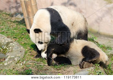 Giant Panda Mother & cub Playing, Chengdu, China
