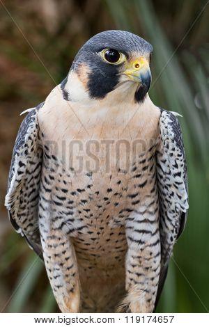 Peregrine Falcon 01