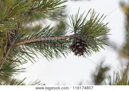 Fir Cone On A Branch