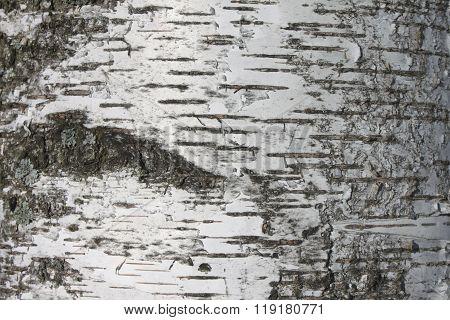 birch bark texture background paper closeup