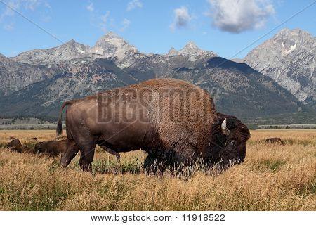 American Bison (buffalo)