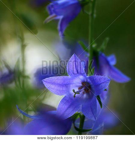 Flowers Bluebell