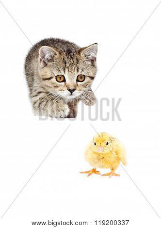 Cute kitten Scottish Straight hunts chick