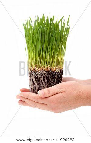 Mujer manos explotación verde pasto de trigo