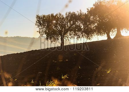 Between Apulia and Basilicata. Rural landscape autumn:hilly landscape with olive grove.Italy.