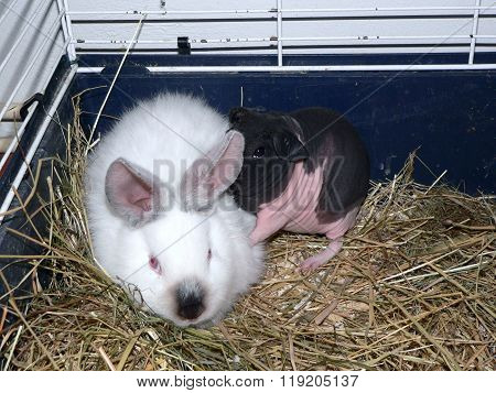 Skinny guinea pig and the white rabbit