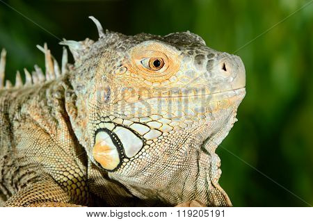 Big iguana head closeup. Iguana in a terrarium.