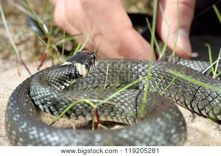 Common grass snake (Natrix natrix) is being picked up by human hand