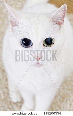 White Cat With Big Eyes Looking Straight Into The Camera