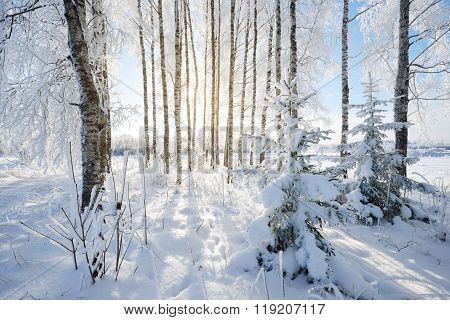 Birch Trees In Rime On A Clear Winter Day