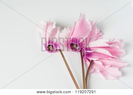 Pink cyclamen bloom. Blooming flower.
