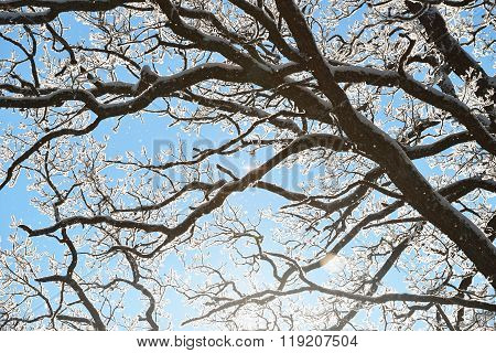 White Snow And Rime Covering Black Oak Tree Branches Against Bright Blue Sky And Sun
