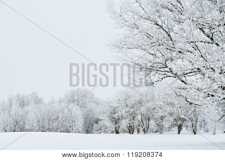 Snow-covered trees on a white winter field