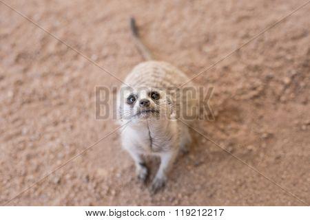 Inquisitive Meerkat in the shade in the Kalahari