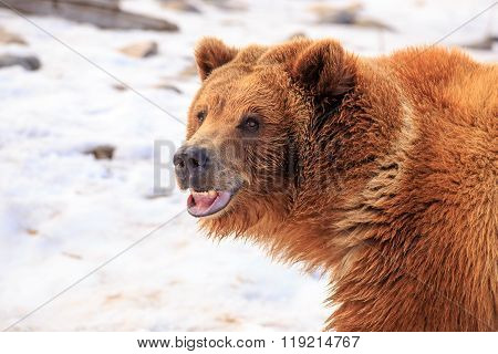 Grizzly Bear Smile.