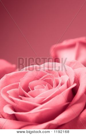 Pink Roses Close-Up On The Red Background