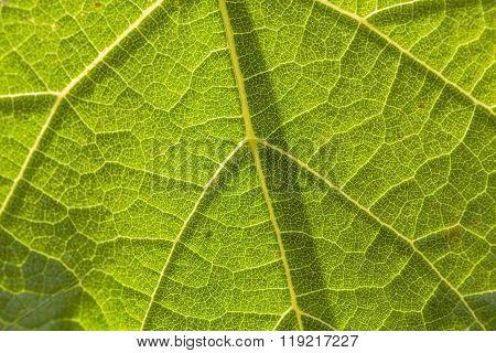 Texture Of Underside Leaf Of Burdock, Close-up