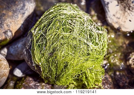 Macro Of A Stone Overgrown Of Algae At A Beach