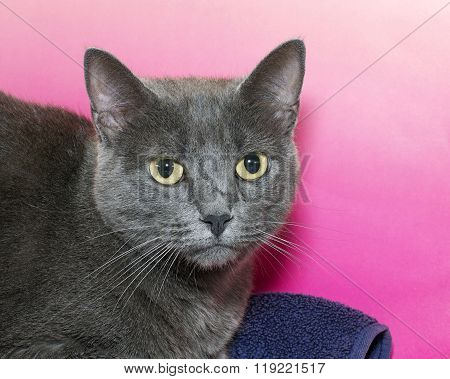 Portrait Of A Gray Short Haired Chartreux Tabby Cat On A Pink Textured Background