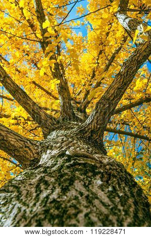 Yellow Ginkgo Tree In Nami Island, Korea