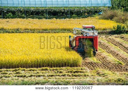 Combine Harvester In A Rice Field During Harvest Time.