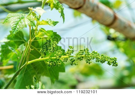 Cluster of green grapes in the vineyard.