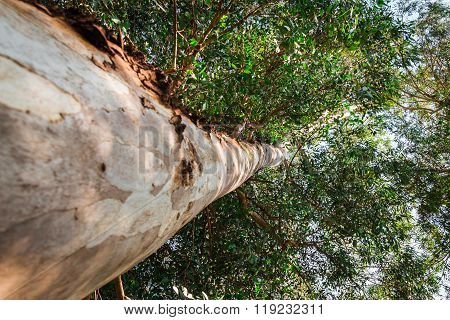 Eucalyptus Tree From Below