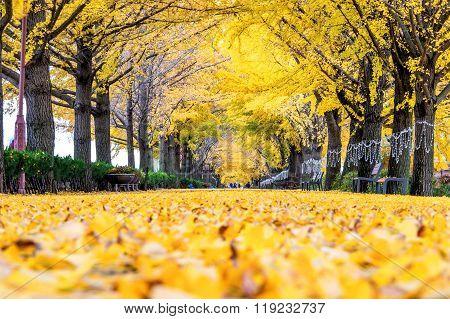 Row Of Yellow Ginkgo Trees In Asan, Korea.