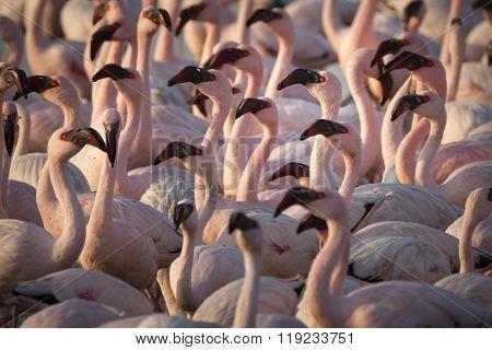 Flamingos at the Walvis Bay wet land in Namibia.