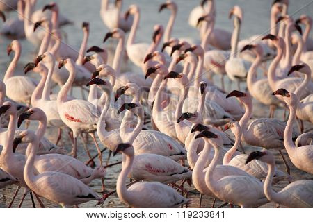 Flamingos at the Walvis Bay wet land in Namibia.