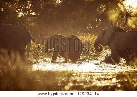 Elephant crossing a river in the golden afternoon light ** Note: Visible grain at 100%, best at smaller sizes