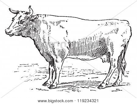 Cow Bretonne, vintage engraved illustration. Dictionary of words and things - Larive and Fleury - 1895.