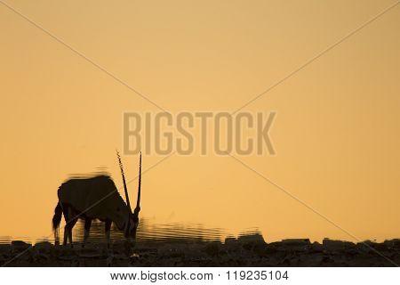 Gemsbok or Oryx at a water hole in Etosha National Park.