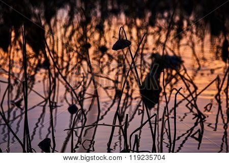 France, Mougin, A Lot Of Dried Lotus Flowers In The Pond At Sunset In Provence, A Reflection Of The