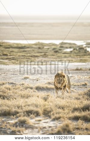 Full grown Lion in Etosha National Park