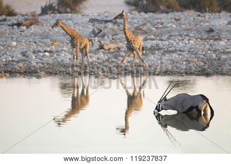 Gemsbok and giraffe drink in Etosha national Park ** Note: Shallow depth of field