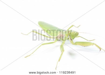 Mantis or Praying Mantis, Mantis religiosa