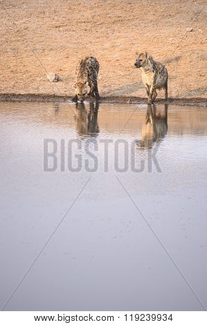 Two Hyenas come in to drink in Etosha ** Note: Visible grain at 100%, best at smaller sizes
