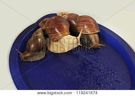 Large grape snail on blue tray.