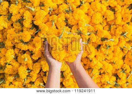 Hand Holding Yellow Marigold Flowers And Pile Of Flowers