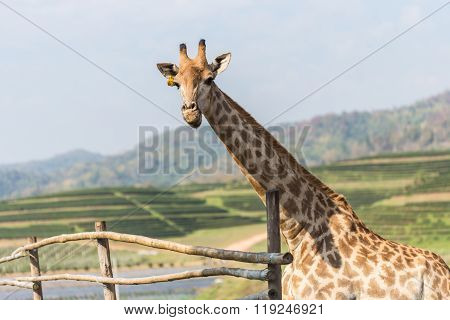 Portrait Of A Curious Giraffe On Blue Sky Background